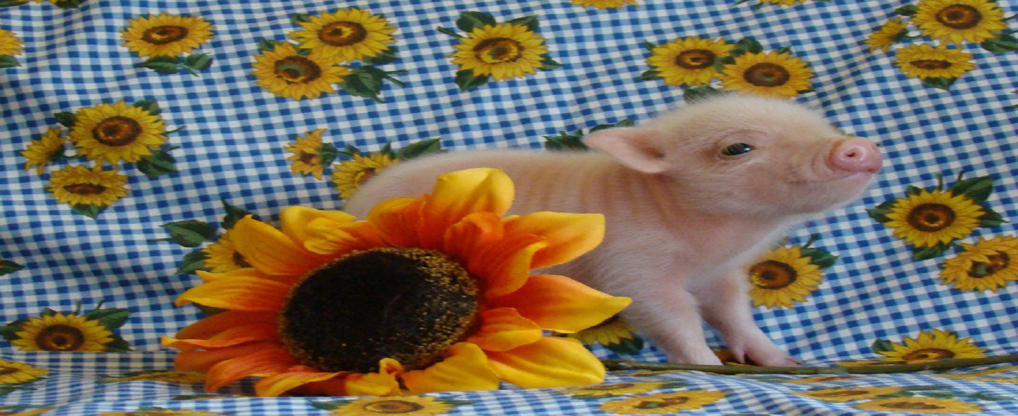 Bring the Joy of Teacup Pig at Home
